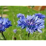 CORNFLOWER - CENTAUREA CYANUS - BLUE BOY - 800 FINEST SEEDS