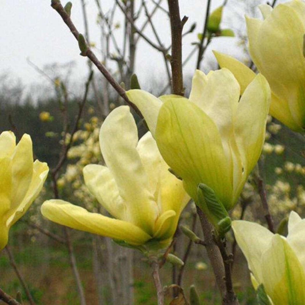 FastDirect Semillas de Magnolia Multicolor Semillas de Flores 10 PCS Semillas de Arboles para Jardin, Huerto, Patio (Amarillo): Amazon.es: Jardín