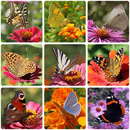 Earthcare Seeds Butterfly Garden Flower Seeds 1,000 Seeds   Heirloom   Open  Pollinated   Non GMO