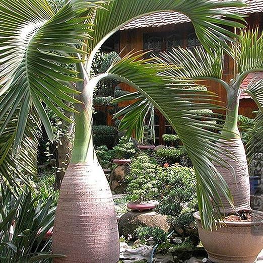 Semillas de palmera, 100 unidades, botella de semillas de palmera, bonsái, jardín tropical, decoración de plantas ornamentales, Semillas de Palmera: Amazon.es: Jardín