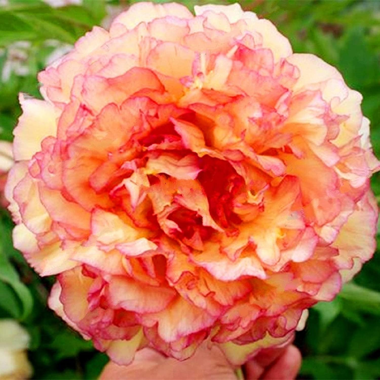 Amazon Com Peach Pink Peony Flower Seeds 30 Seed Pack Easy