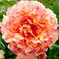 Peach & Pink Peony Flower Seeds 30 Seed Pack Easy Grow