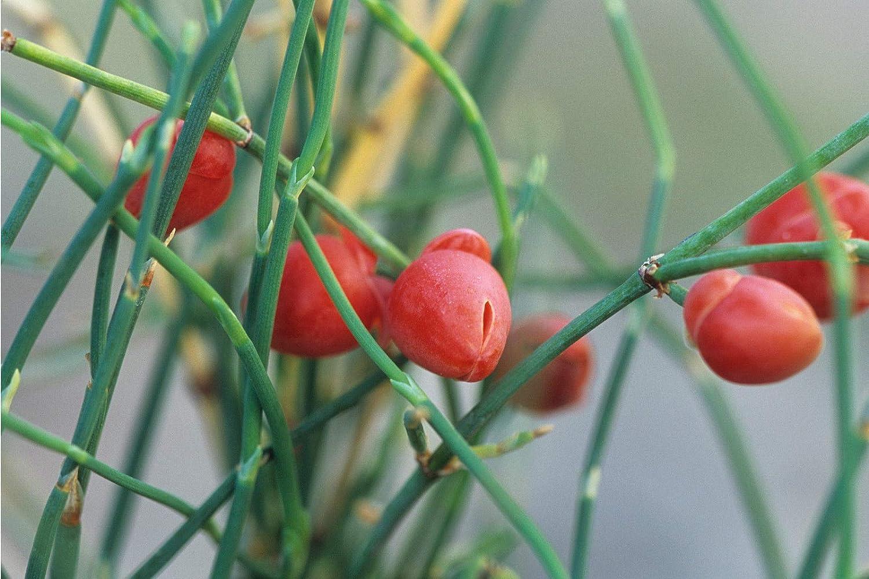 100 Semillas de Ephedra sinica ephedra sinica Asklepios-seeds/®