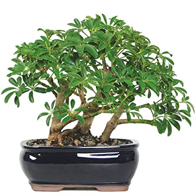 Bonsai Dwarf Hawaiian Umbrella Tree Live Plant Garden Houseplant Indoor - USA_Mall : Garden & Outdoor