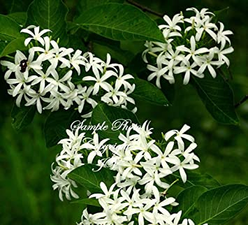 Amazon 10 seeds indrajava kurchi rare white star flowers 10 seeds indrajava kurchi rare white star flowers great potted houseplant container easy grower mightylinksfo
