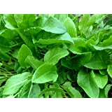 400+ French Sorrel Seeds- Heirloom Lettuce Herb- by Ohio Heirloom Seeds