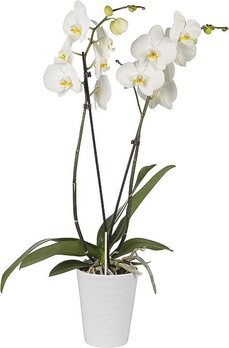 Piante Da Appartamento Orchidea.Pianta Vera Da Interno Orchidea Phalaenopsis Bianca Matisse In