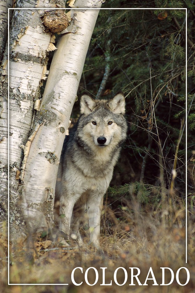 Colorado - Wolf in Forest (12x18 Art Print, Wall Decor Travel Poster)