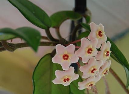HOYA CARNOSA Wax Plant 10 seeds of Porcelain Flower 5 seed Sunflower