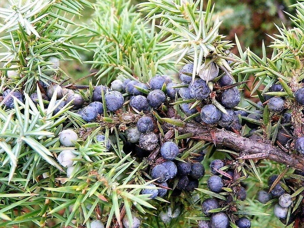 40 x Common Juniper tree seeds tree shrub seeds. juniperus communis