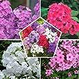 Phlox (paniculata) Colección perfecta (5 plantas) | 5 variedades | Plantas duras de invierno de gran formato de Holanda | Dutch-Bulbs.Com