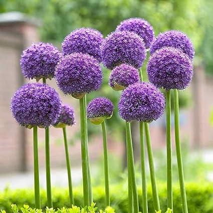 Amazon Com 1 Allium Bulbs Giant Gladiator Perennials Bulbs