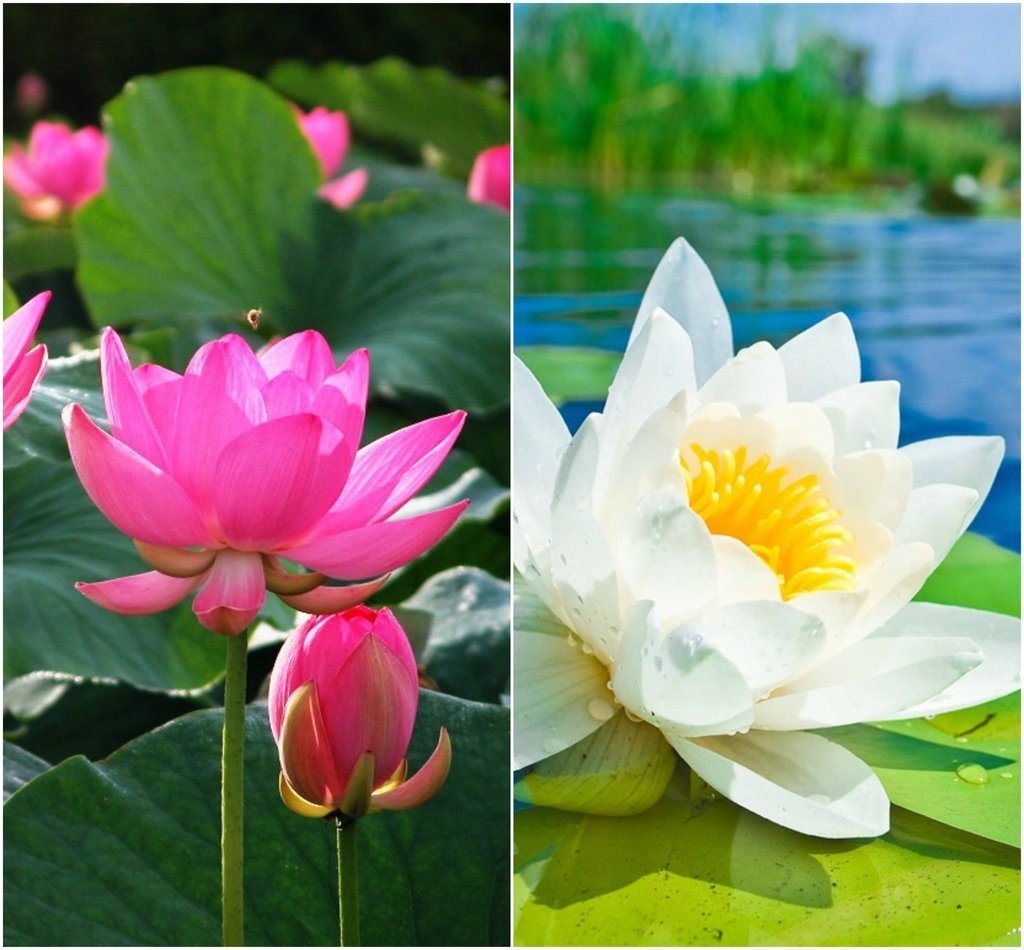 Bee Garden Lotus Flower Seeds 10pcs Pink White Colors Amazon