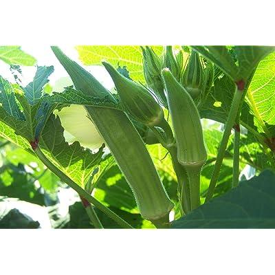 Texas Longhorn Okra Seeds (25 Seeds) : Garden & Outdoor
