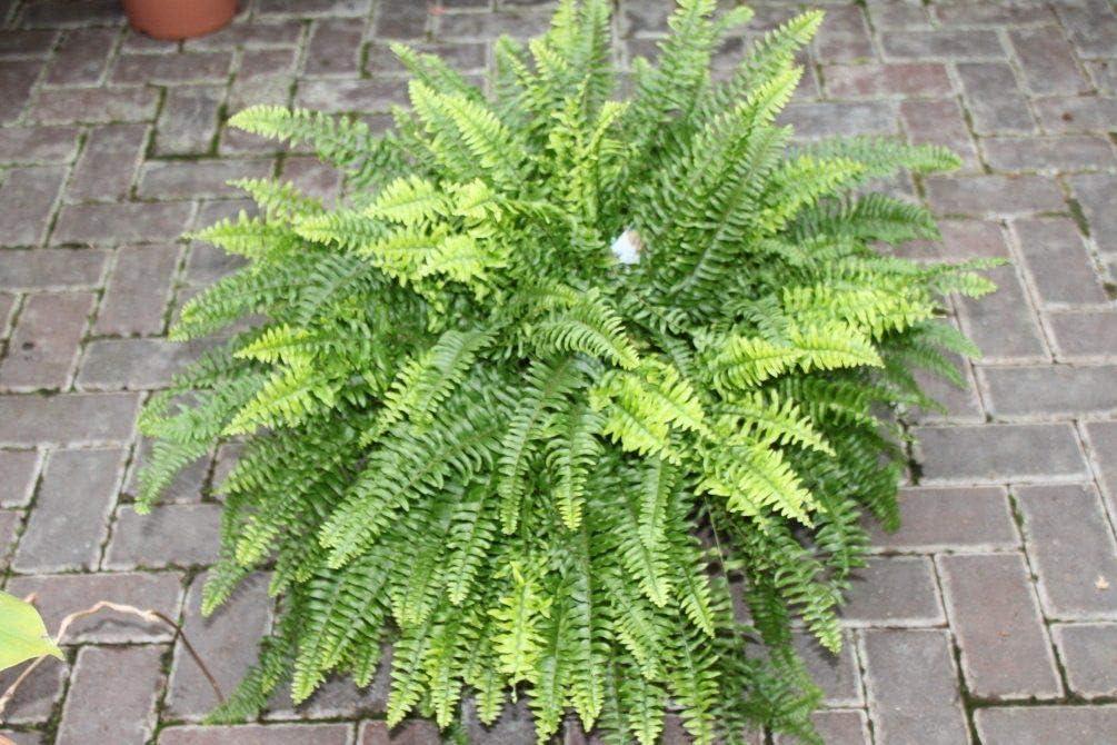 Plante dint/érieur buissonnante denviron 35/cm de hauteur Nephrolepsis Plante dint/érieur Foug/ère de Boston