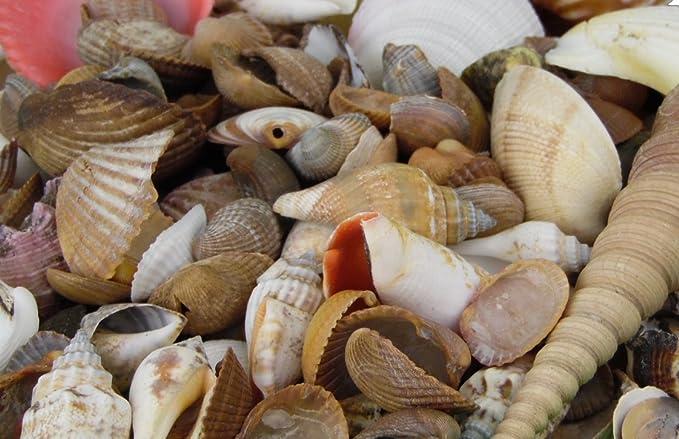 Muschelmix groß 950g Deko Maritim Muschel Dekoration Bastel Muscheln Dekomuschel