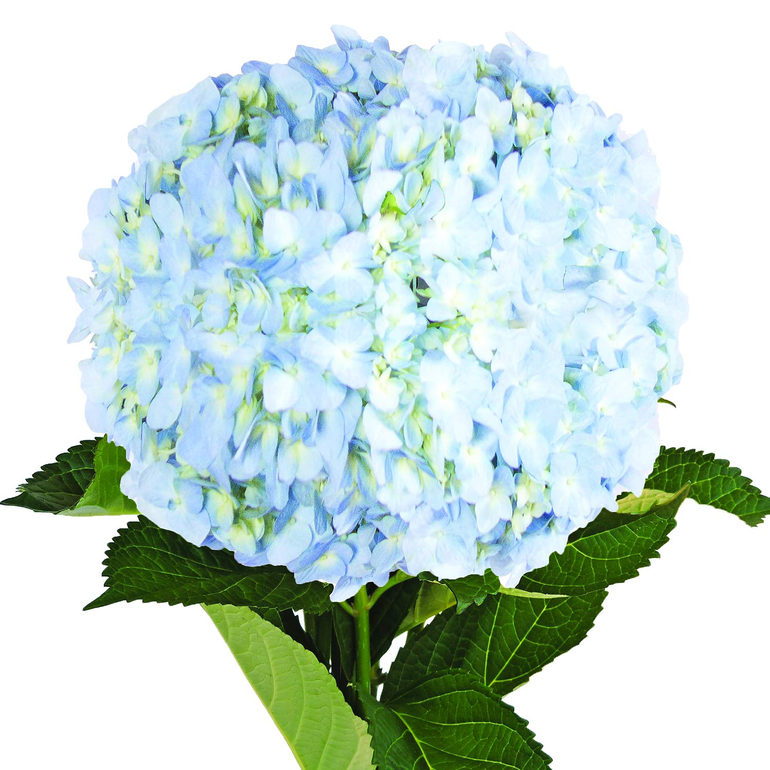 Farm Fresh Natural Jumbo Blue Hydrangeas - Pack 12 by Bloomingmore (Image #1)