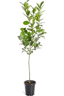 Amazon com : HASS Avocado Tree - 2-3 feet Tall in a 2 Gallon
