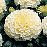 Seedscare Marigold White Flower Seeds (Pack of 10 Seeds)