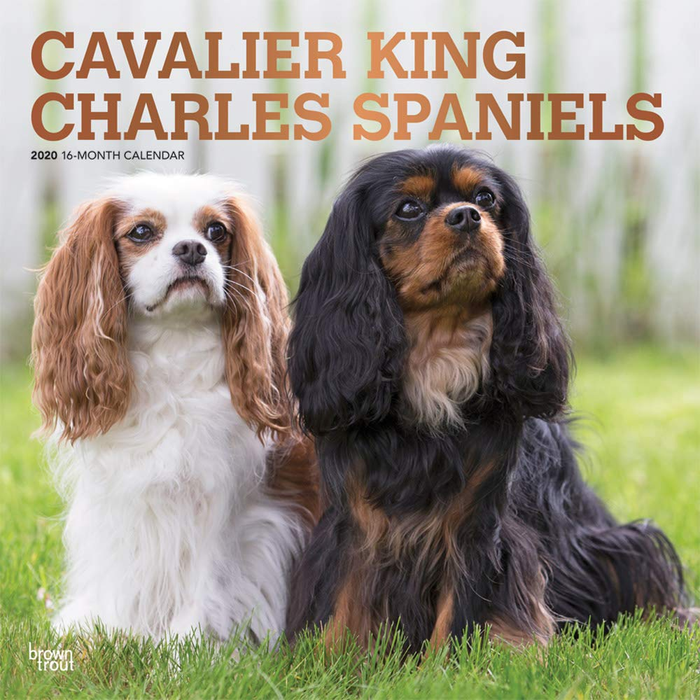 Cavalier King Charles Spaniels 2020 12 x 12 Inch Monthly Square Wall Calendar with Foil Stamped Cover, Animals Dog Breeds Puppies by BrownTrout Publishers