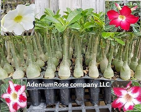 seedling caudex,1 plant Adenium succulents Thai arabicum NICE FORM plant