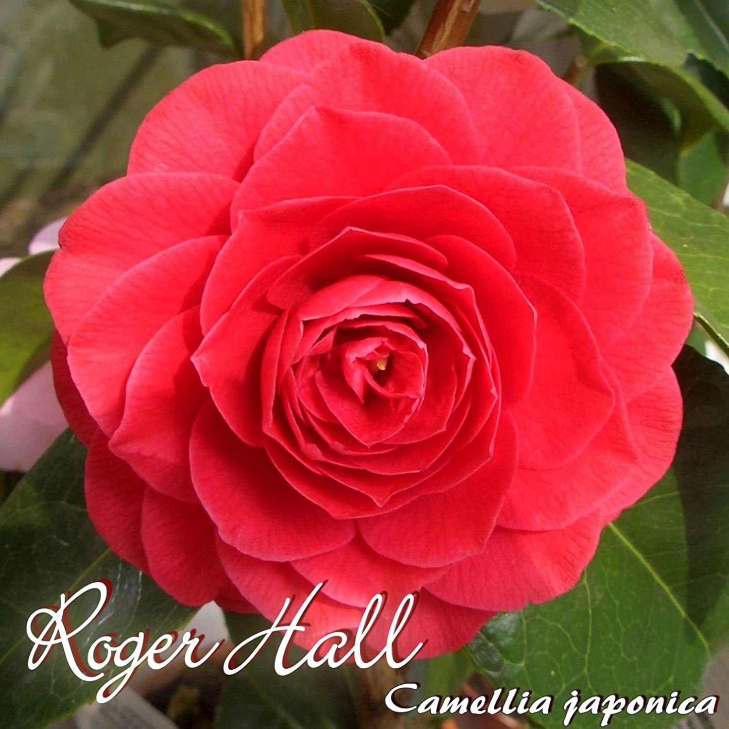 Kamelie Roger Hall Camellia Japonica 4 To 5 Years Old Plant