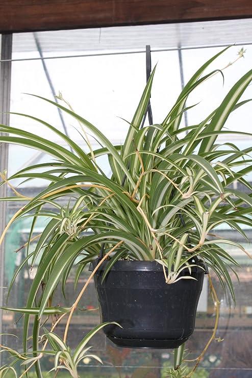 plante verte vaudoise