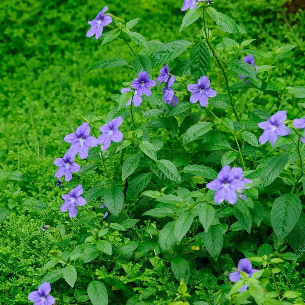 Browallia, semillas de flores de amatista - Browalia americana - 1300 semillas