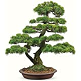 cindere Japanese Five Needled Pine Tree Seeds Bonsai Pinus Parviflora Seeds Everygreen-20 PCS