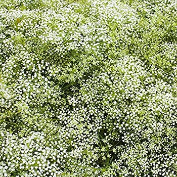 Amazon perennial babys breath seeds packet white flowers perennial babys breath seeds packet white flowers mightylinksfo