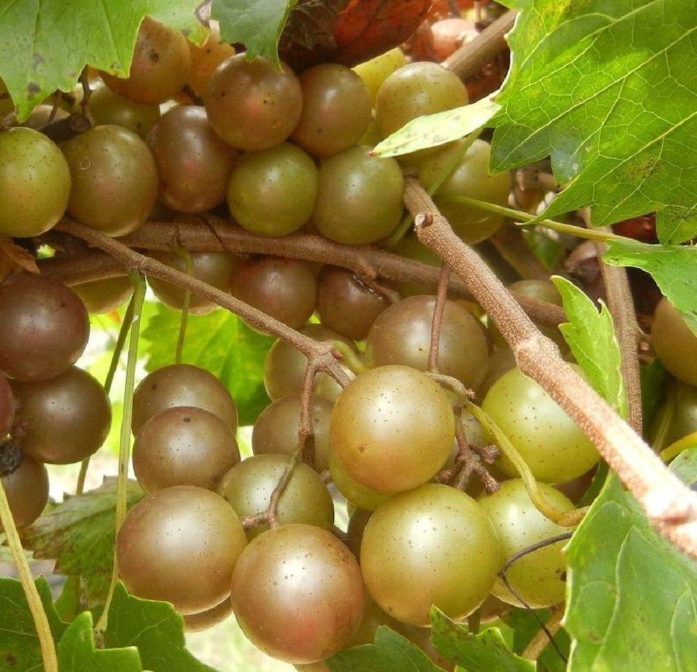 Vitis 'Higgins' Muscadine Grape Starter Plant