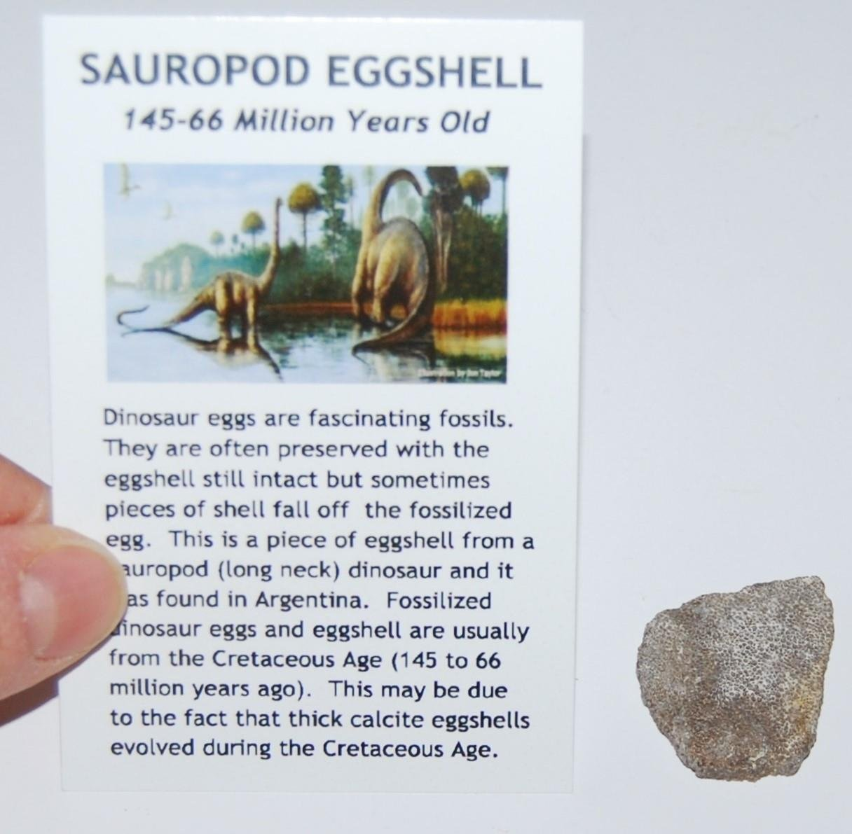 SAUROPOD Dinosaur Genuine Egg Shell Fossil #468 Fossils Meteorites & More