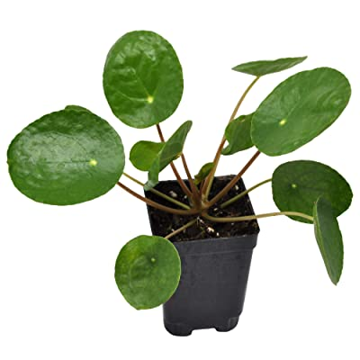 Pilea peperomioides, Chinese Money Plant : Garden & Outdoor