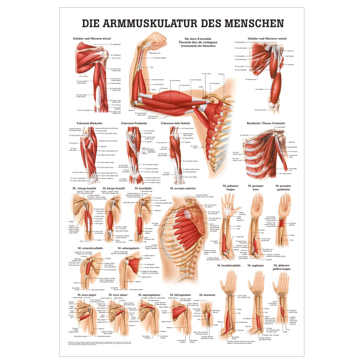 Nett Brustkorb Anatomie Bilder Ideen - Menschliche Anatomie Bilder ...