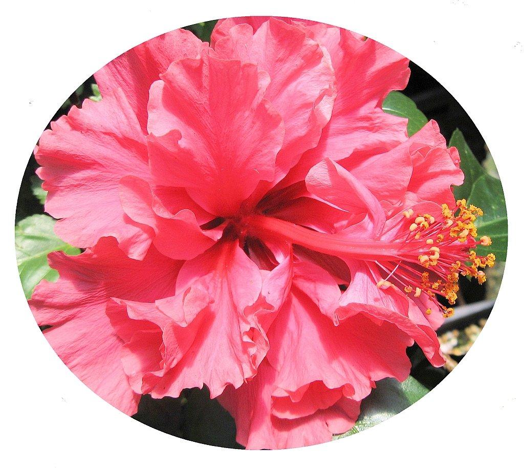 Amazon Pride Of Hankins Bush Tropical Hibiscus Plant Triple