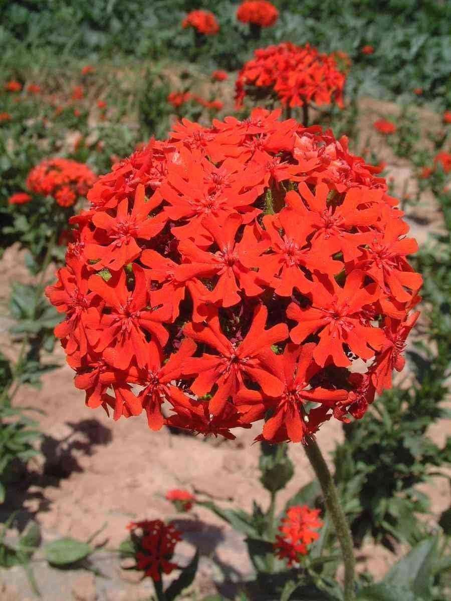 Original Pack New New Arrival Very Easy Novel Plant Spring 2014 Pretty Big Cut Rom Seedling Lychnis Seeds Bonsai 30pcs