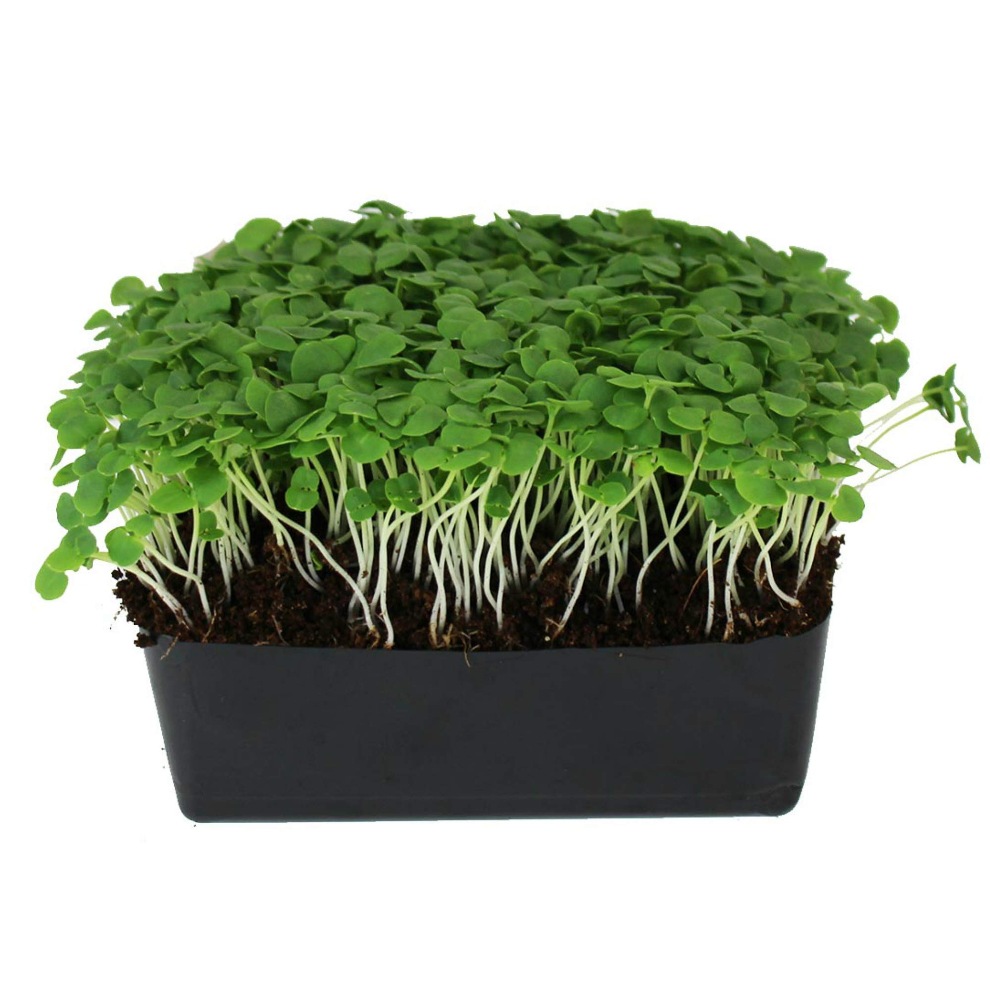 Thai Basil Seeds - Bulk Herb Seeds for Growing Microgreens, Indoor Gardening: Micro Greens Salad (1 Lb) by Mountain Valley Seed Company (Image #1)
