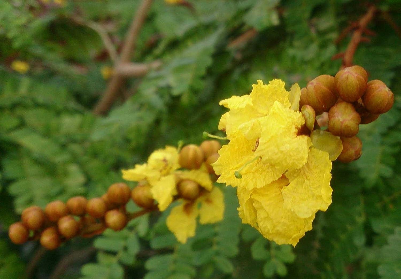 Peltophorum pterocarpum Golden Yellow Flamboyant 10/_Seeds Copperpod