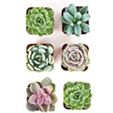 Shop Succulents | Radiant Rosette Collection | Assortment of Hand Selected, Fully Rooted Live Indoor Rose-Shaped Succulent Pl