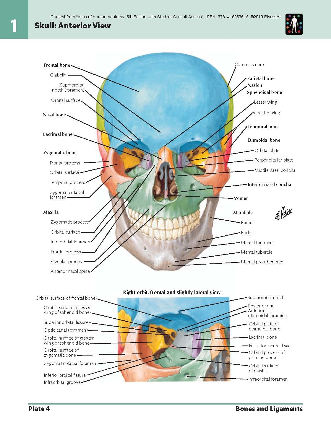 For pdf atlas anatomy