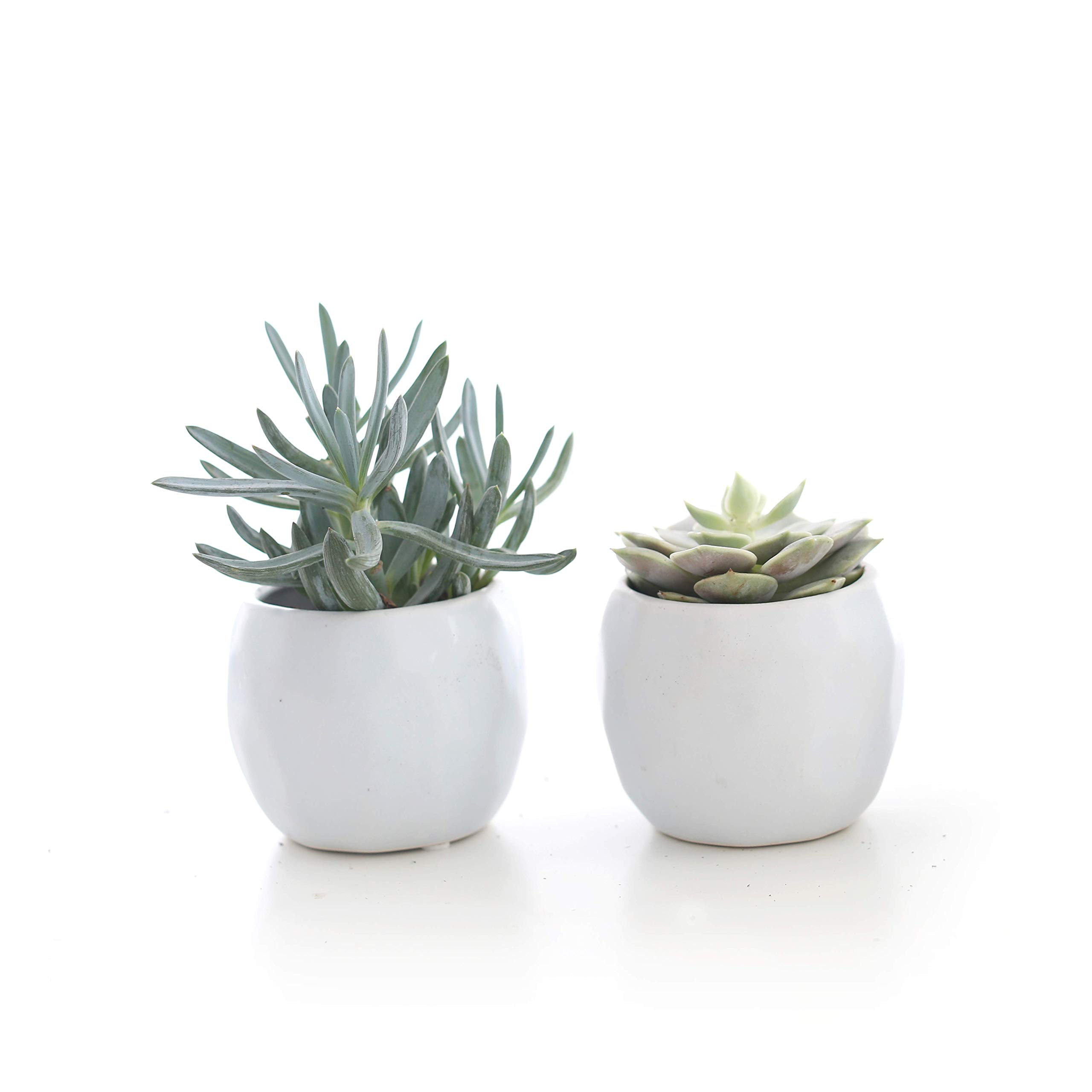 Plants by Post Ceramic 3.5'' Mini Live Succulent in Cool White Geometric Pot (Set of 2)