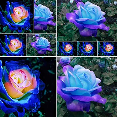 wpOP59NE 50 Pcs Rare Blue Pink Roses Plant Seeds Balcony Garden Potted Rose Flowers Seed Plant Seeds : Garden & Outdoor