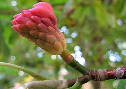 Amazoncom 5 Seeds Of Magnolia Acuminata Cucumber Magnolia