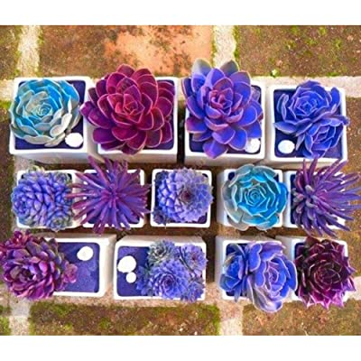 200Pcs Mixed Flower Seeds Rare Beauty Succulent Easy to Grow Mini Potted Garden : Garden & Outdoor