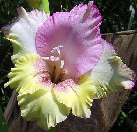 Amazon Com Mon Amour Large Flowering Gladiolus 8 Bulbs 14 Cm