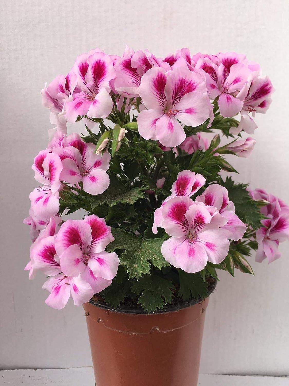 Vipar Garden 8 Geranio Pelargonium Grandiflorum 14 cm///ø Pack 6 Plantas