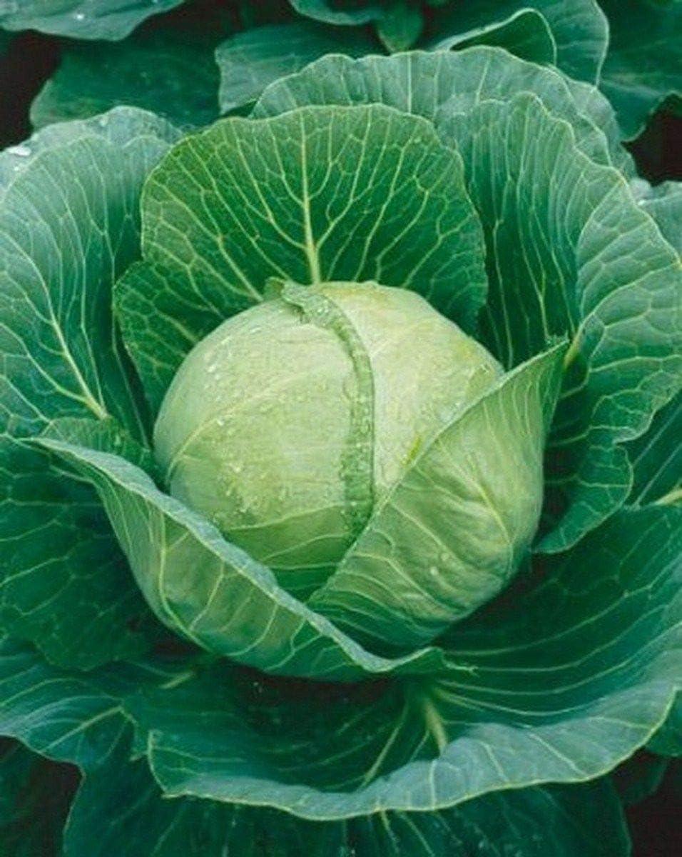 Amazon Com Cabbage Golden Acre 200 Seeds Garden Outdoor