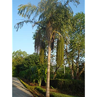 Giant Fishtail Palm 15 Seeds - Caryota urens - Toddy by AchmadAnam : Tree Plants : Garden & Outdoor