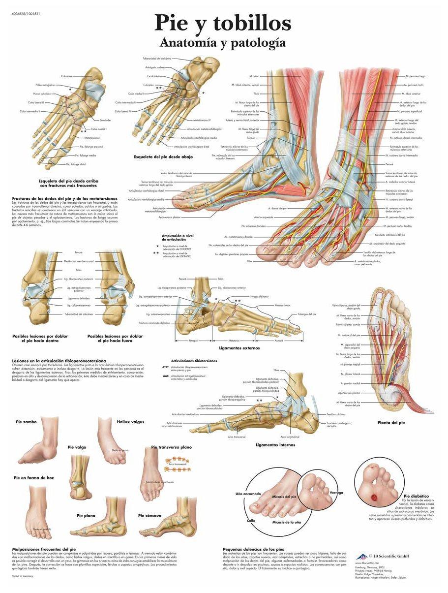 Atemberaubend Skelett Anatomie Des Fußes Bilder - Anatomie Von ...