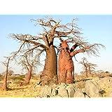 BAOBAB tree ADANSONIA DIGITATA rare bonsai exotic flowering bottle seed 10 seeds